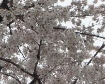 武庫之荘の満開の桜