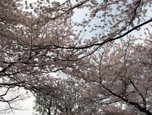 higashisonoda_sakura.jpg