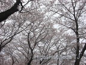 満開の桜(京都・背割堤2009年)