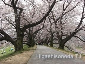 桜のトンネル(京都・背割堤2009年)
