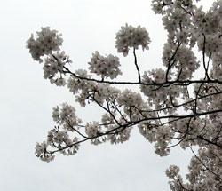 sonoda_sakura.jpg